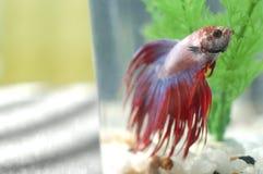 Betta ryba w zbiorniku Zdjęcia Royalty Free