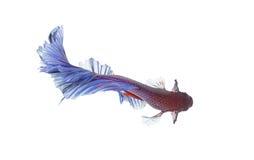 Betta ryba zbliżenie Kolorowa smok ryba Fotografia Royalty Free