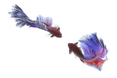Betta ryba zbliżenie Kolorowa smok ryba Obrazy Stock
