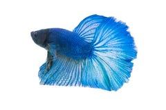Betta ryba zbliżenie Kolorowa smok ryba Zdjęcia Royalty Free