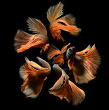 Betta or Saimese fighting fish. Royalty Free Stock Images