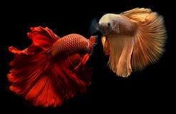 Betta of Saimese-het vechten vissen Stock Afbeeldingen