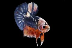 The Betta Siamese fighting fish royalty free stock images
