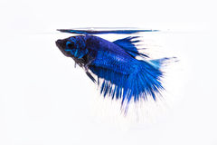 Betta, siamese fighting fish Stock Photos