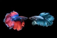 Betta splendens,美好的红色和蓝色战斗钓鱼 图库摄影