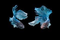 Betta splendens,被隔绝的蓝色战斗的鱼的情感 库存图片