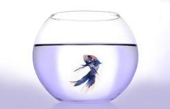 Betta splendens. A little asiatic fish on water tank Stock Photo