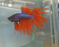 Betta Splendens Fotografia de Stock