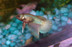betta splendens Obrazy Stock