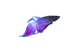 Betta Splendens Royalty Free Stock Images