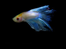 Betta splendens Royaltyfri Fotografi