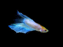 Betta splendens Arkivfoton