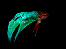 Betta splendens Arkivbilder