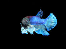 Betta splendens Royaltyfri Foto