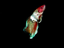 Betta splendens Arkivbild