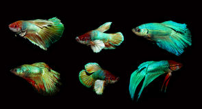 Betta splendens Arkivfoto