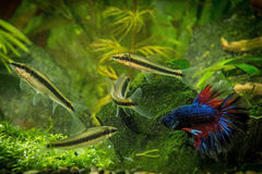 Betta splendens royaltyfria foton