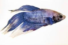 Betta splendens. A great asian fish in a tropical aquarium Stock Image
