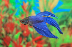 Betta splendens of blue color Royalty Free Stock Photography