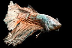 Colorful Chocolate  Siamese fighting fish Royalty Free Stock Photos