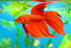Betta splendens royalty free stock photography