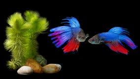 Betta splendens - siamese fighting fish. On a black background Royalty Free Stock Image