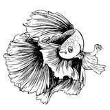 Betta splendens, Siamese fighting fish. Freehand sketch illustration of Betta splendens, Siamese fighting fish doodle hand drawn Stock Images