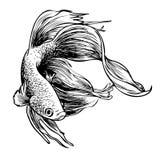 Betta splendens, Siamese fighting fish. Freehand sketch illustration of Betta splendens, Siamese fighting fish doodle hand drawn Royalty Free Stock Image