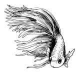 Betta splendens, Siamese fighting fish. Freehand sketch illustration of Betta splendens, Siamese fighting fish doodle hand drawn Stock Photo