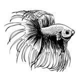Hand gezeichnet und skizze siamesischer kampffisch vektor for Kampffisch betta splendens