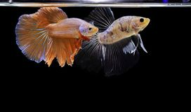 Betta splendens, Syjamska bój ryba, czerwieni ryba na czarnym tle, Halfmoon Betta obrazy stock