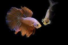 Betta splendens, Syjamska bój ryba, czerwieni ryba na czarnym tle, Halfmoon Betta obraz royalty free