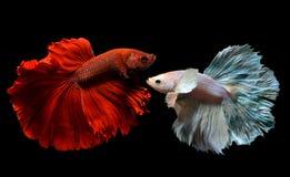 Betta vermelho e de prata extravagante Imagem de Stock
