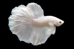 Betta White Platinum HM Halfmoon  Male or Plakat Fighting Fish Splendens