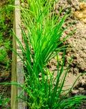 Betten Sie mit den Frühlingszwiebeln, die in einem Gemüsegarten wachsen Lizenzfreies Stockbild