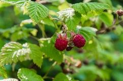 Delicious red raspberry. Better than raspberries in summer, there is nothing more delicious royalty free stock photos