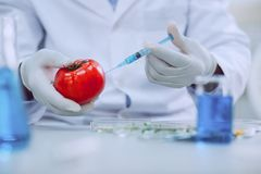 Professional knowledgeable scientist testing tomatoes. Better vegetables. Brilliant professional biologist wearing a uniform and testing tomatoes royalty free stock image
