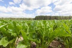 Betterave à sucre Photos libres de droits