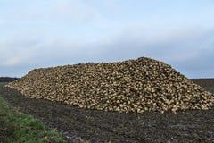 Betterave à sucre après moisson dans le stockage Photographie stock libre de droits