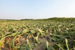 Betterave à sucre dans la sécheresse photos stock