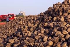 Betterave à sucre sur le champ Photos stock