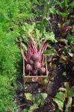 Betteraves dans la correction végétale Images stock