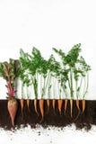 Betteraves et carotte Usine croissante d'isolement sur le fond blanc photographie stock