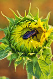 Bettle bug in a sunflower Stock Image
