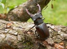 Bettle de mâle affichant des klaxons Photos libres de droits
