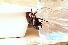Bettle del macho Foto de archivo