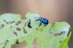 Bettle. Hazel leaf roller Byctiscus betulae feeding on leaf royalty free stock photos