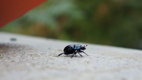 Bettle nero/blu Immagini Stock