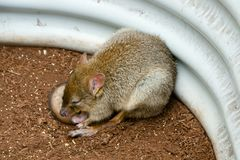 Bettong Stock Image