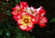 Betty Boop Roses immagini stock libere da diritti